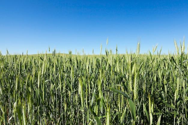 Domaine agricole sur lequel poussent des céréales immatures, du blé.