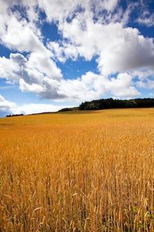 Domaine agricole sur lequel poussent du blé mûr.