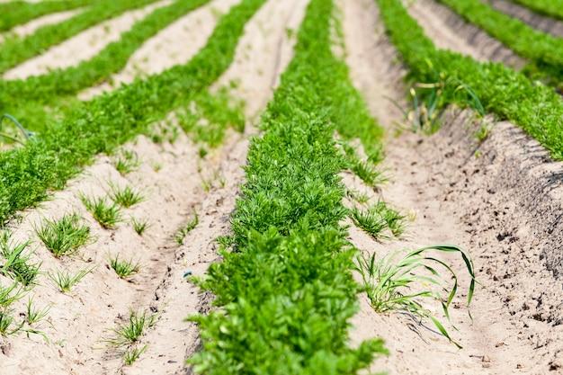 Domaine agricole sur lequel poussent de jeunes carottes vertes.