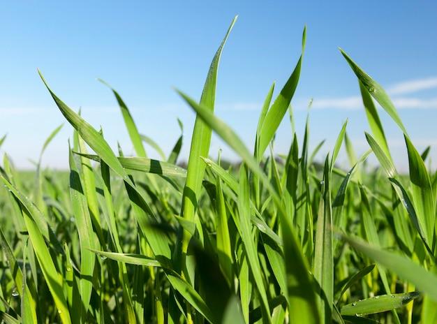 Domaine agricole sur lequel poussent de jeunes céréales immatures, du blé. ciel bleu en arrière-plan