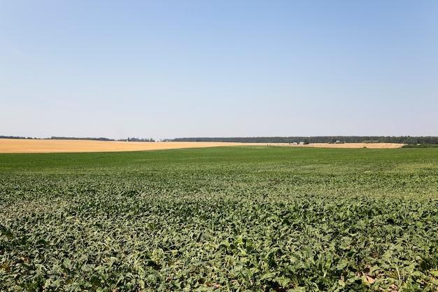 Domaine agricole sur lequel poussent des pousses vertes de betterave