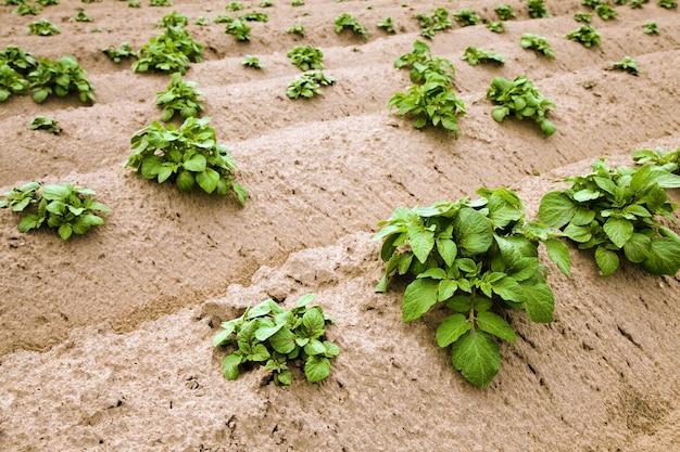 Domaine agricole où les pommes de terre sont cultivées
