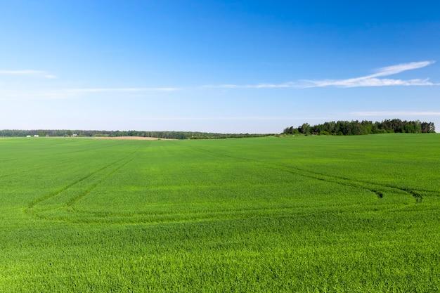 Domaine agricole où pousse le blé vert, agriculture pour l'obtention de céréales, le blé est jeune et encore immature, paysage de cultures de blé agricole