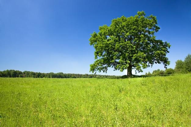 Domaine agricole où pousse les grains verts non mûrs