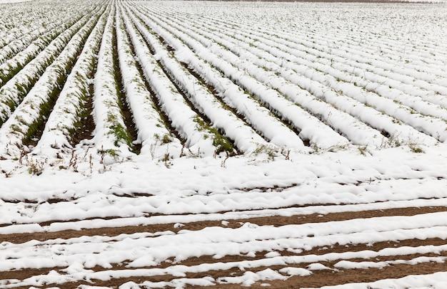 Domaine agricole qui ne montre aucune récolte de carottes récoltées recouvertes de neige. saison de l'automne. le a été pris de près et voir les sillons. petite profondeur de champ.