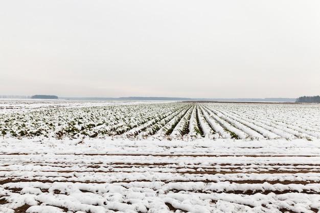 Domaine agricole qui ne montre aucune récolte de carottes récoltées recouvertes de neige.