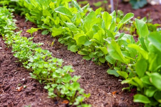 Domaine agricole avec salade de laitue verte et persil sur lit de jardin dans le champ de légumes