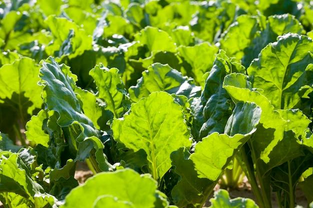 Domaine agricole où les variétés de betteraves reproductrices sont cultivées des plants de betteraves vertes sur des sols fertiles