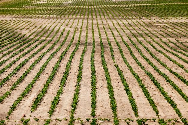 Domaine agricole où les variétés de betteraves sont cultivées, plants de betteraves vertes sur des sols fertiles, obtention d'une récolte de produits de betterave de haute qualité, gros plan