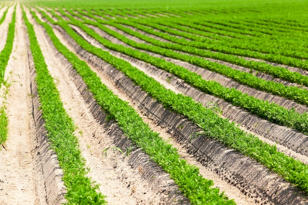 Le domaine de l'agriculture, où poussaient de petites pousses vertes de carottes