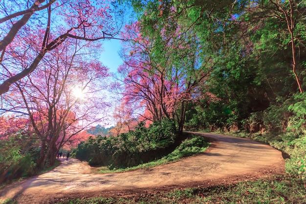 Le domaine de la floraison rose fleurs de cerisier sauvage de l'himalaya thailands sakura ou prunus cerasoides