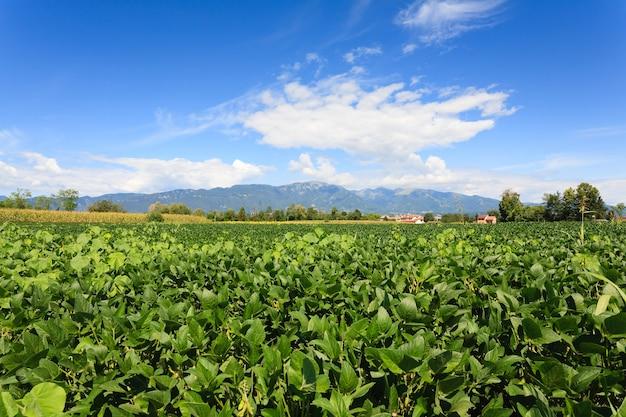 Domaine de soja avec des montagnes en arrière-plan l'agriculture italienne
