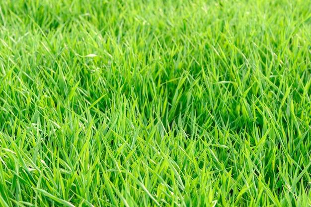 Domaine de la texture de l'herbe verte fraîche comme arrière-plan, vue rapprochée de dessus, horizontal