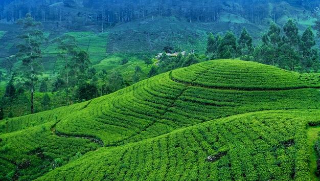 Domaine de thé au sri lanka