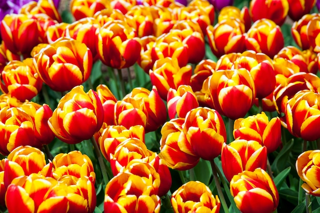 Domaine de tulipes de couleur rouge et jaune dans le parc de keukenhof, pays-bas
