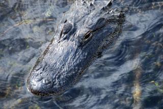 Dormir crocodile