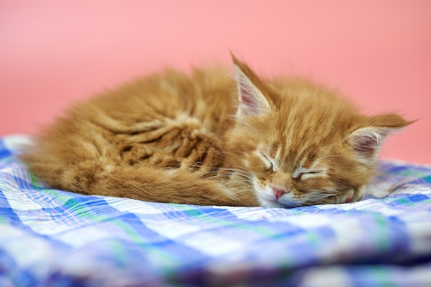 Dormir mignon chaton maine coon