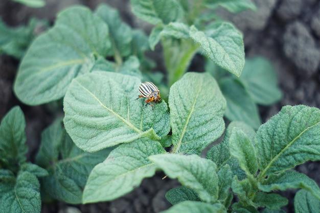 Doryphore de la pomme de terre est les jeunes pousses de pommes de terre