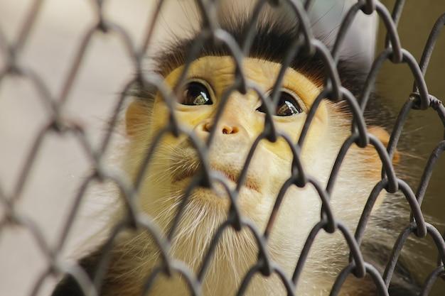 Douc langur à queue rouge dans la cage
