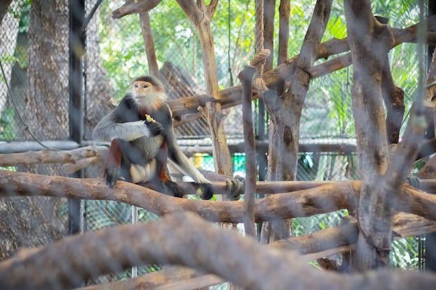 Douc à queue rouge (pygathrix nemaeus) dans le zoo de thaïlande (mise au point sélective)