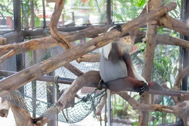 Douc à queue rouge (pygathrix nemaeus) dans le zoo de thaïlande