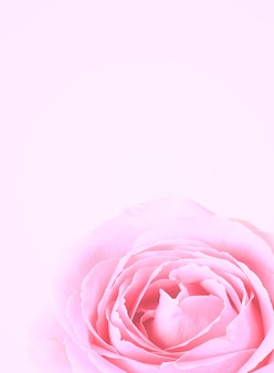 Doux fond de rose rose