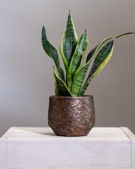 Dracaena trifasciata, plante de serpent dans un vieux pot métallique