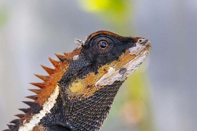 Dragon barbu brun et blanc