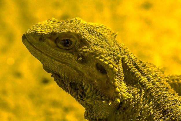 Dragon barbu dans le zoo