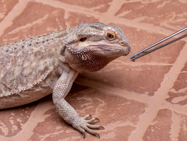 Un dragon barbu (pogona sp) mangeant du cricket.