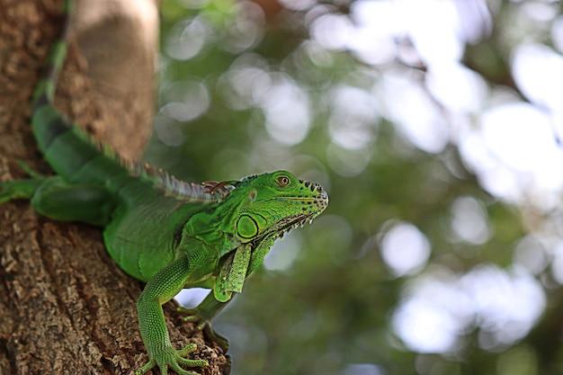 Dragon d'eau chinois couché sur l'arbre ou dans les buissons en se cachant dans la forêt. iguane vert trouvé dans les pays d'amérique centrale et du golfe. (physignathus cocincinus)