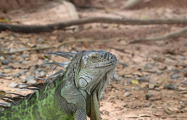 Le dragon d'eau chinois couché sur le sol est une île. iguane vert trouvé dans les pays d'amérique centrale et du golfe. (physignathus cocincinus)