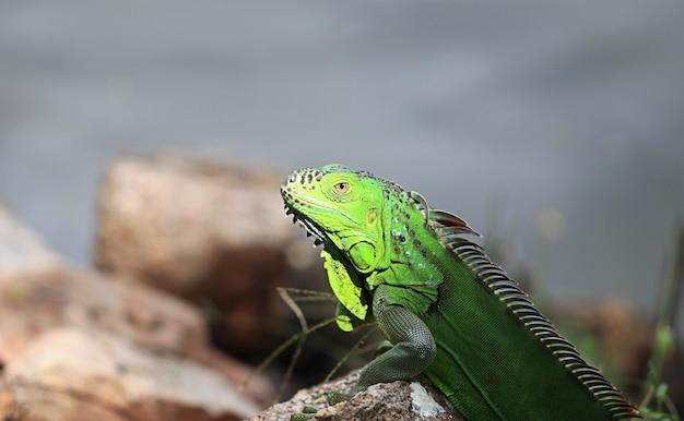 Le dragon d'eau chinois couché sur le sol est une île et des rochers. iguane vert trouvé dans les pays d'amérique centrale et du golfe. (physignathus cocincinus)