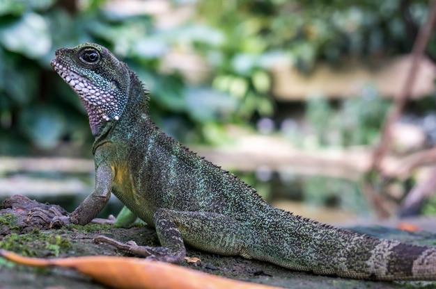 Dragon d'eau chinois (physignathus cocincinus)