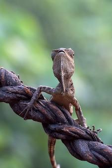 Dragon de forêt femelle sur une branche d'arbre