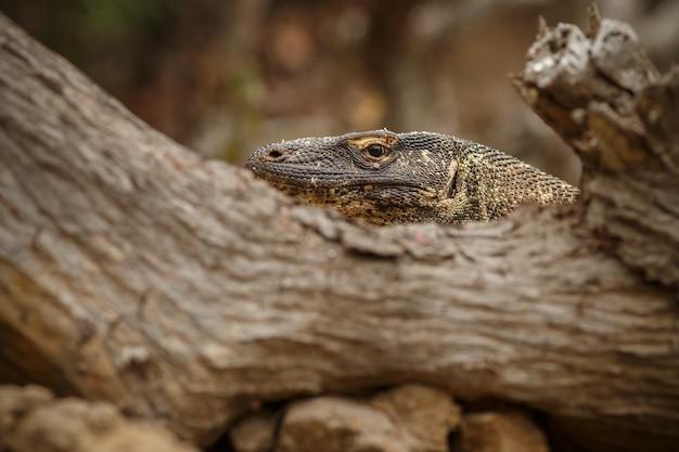 Dragon de komodo dans le bel habitat naturel de la célèbre île d'indonésie