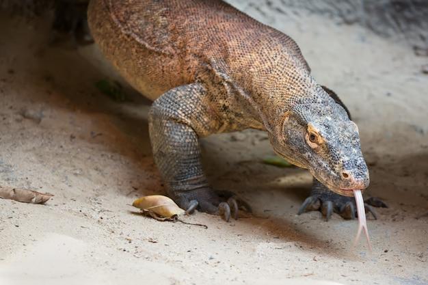 Le dragon de komodo varanus komodoensis avec une langue