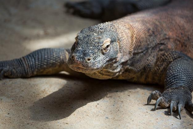 Le dragon de komodo varanus komodoensis