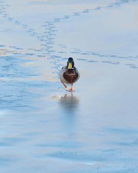 Drake sauvage se promène sur la glace de la rivière