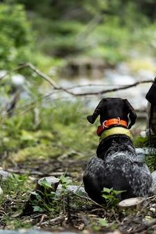 Drathaar allemand en chasse. un chien de chasse est assis dans une embuscade et attend une commande