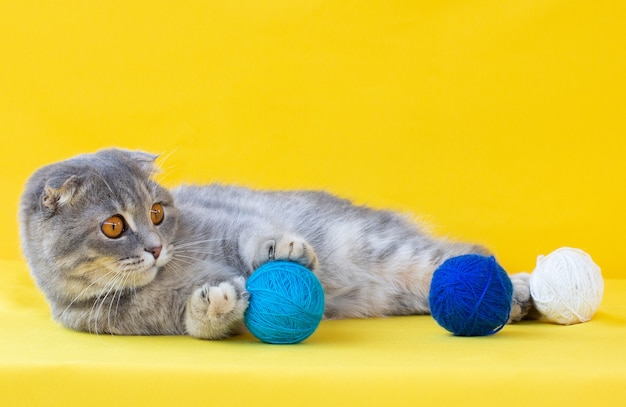 Un drôle de chat pli écossais ludique allongé sur un fond jaune avec de nombreux écheveaux colorés