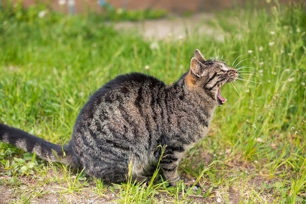 Drôle de chat tigré bâillant la bouche pleine en plein air sur la nature.