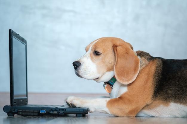 Drôle de chien beagle regarde l'écran de l'ordinateur portable et garde ses pattes sur le clavier allongé sur le sol. imitation du travail à l'ordinateur