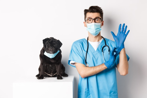 Drôle de chien carlin noir portant un masque médical, assis près de beau médecin vétérinaire mettant des gants pour examen, blanc.
