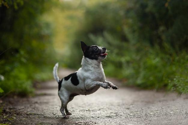 Drôle de chien chihuahua sautant dans le parc