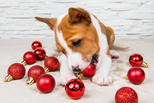Drôle de chien chiot basenji joue avec des boules de noël rouges
