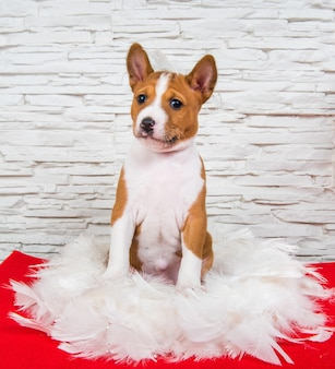 Drôle de chien chiot basenji rouge est assis dans des plumes blanches, carte de voeux
