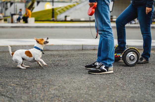 Drôle de chien jack russell terrier jouant avec des gens dans la rue.