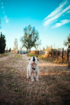 Drôle de chien moelleux aboie sur l'herbe dans le parc.
