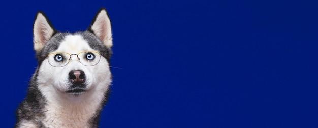 Un drôle de chien de race husky dans des verres élégants, une bannière de fond bleu studio avec espace copie